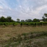 Vineyard - Haritatos vineyard