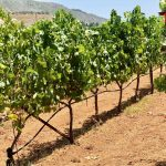 Mavrodaphne vineyard, Gentilini